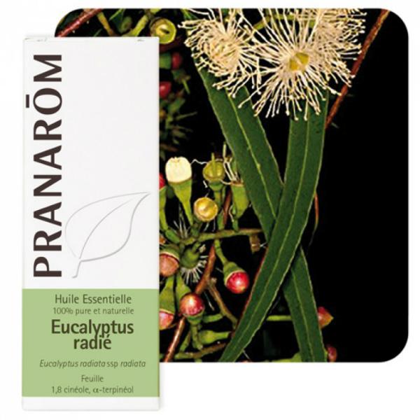 Eucalyptus radiata - Eterično ulje